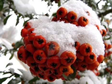 Winter berries 4. by Shaquiry