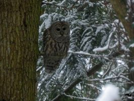 Winter Barred Owl by wolfwings1