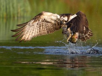 Pure Energy- Osprey with rainbow trout by Jamie-MacArthur