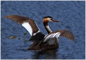 The Great Crested Grebe by nakitez