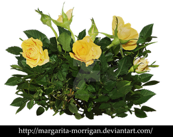 yellow rose bush by margarita-morrigan