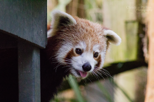 Red Panda-5391 by Christina-Phillips