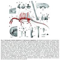 New spinosaurus (excerpt from the paper). by Miyess