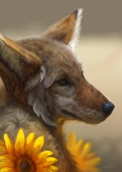 Coyote/Sunflower by kepperoni