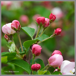 Spring Apple Flowers by Mogrianne