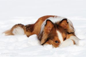 2012 border collie Ray 2 by Vikarus