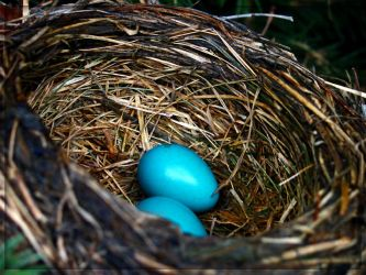 Robin Nest With Eggs by misterjakal
