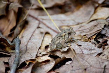 Fowler's Toad by sioranth