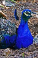 Peacock 2 by mandolinphotography