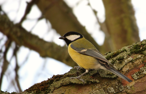 Parus major by Eruanna17