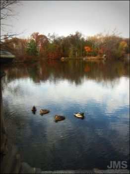 Ducks in Central Park Lake Fall 2013 by steeber
