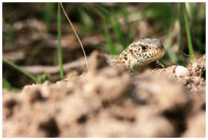Lacerta agilis by Soczi