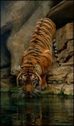 Lady Tiger takes a drink by Leonca