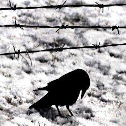 Blackbird: ...only waiting... by Coigach