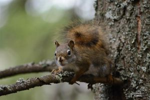 Squirrel on fir tree 2 by themanitou
