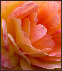 Details of a Rose by TruemarkPhotography