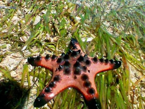 Red Chocolate Chip Sea Star by labellaxiaira