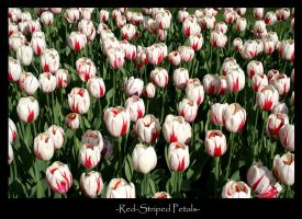 Red-striped Flowers by SBurgess08