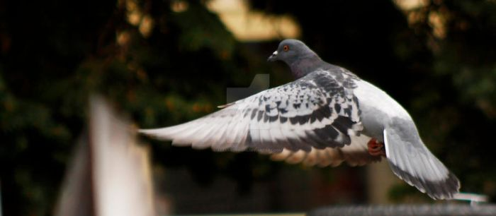Flying pigeon by Alexandru-MM