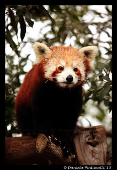 Red Panda VI by TVD-Photography