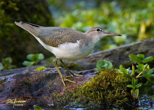 Spotted Sandpiper WW by DGAnder
