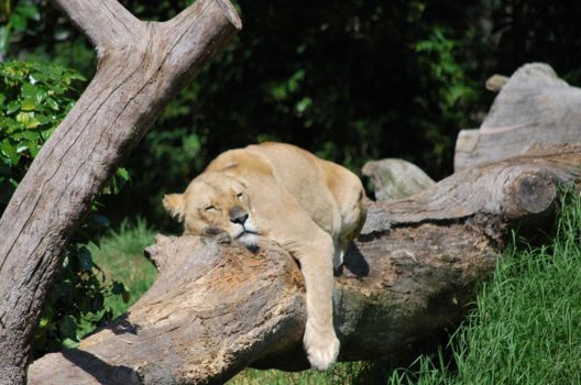 Lazy Lion close up by theWildKitten