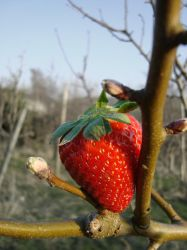 yet another strawberry by Demenin