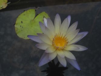 Water Lily - Oak Ally by kamiki