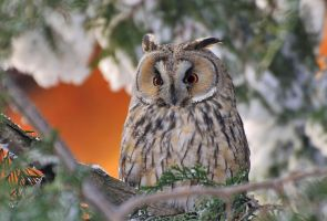 Owl in a cold snowy day by missfortune11