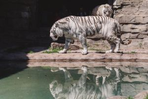 White Tigers by speedofmyshutter