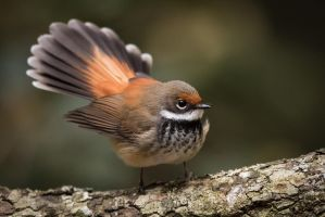 Rufous Fantail by strictfunctor