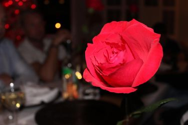 Red rose by chiefschic