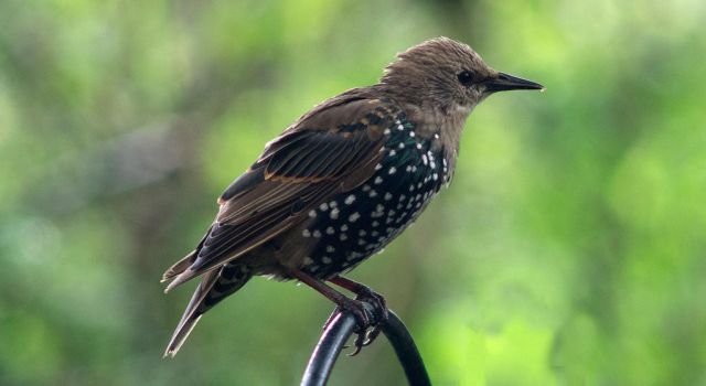 Adolescent Starling by egypt04