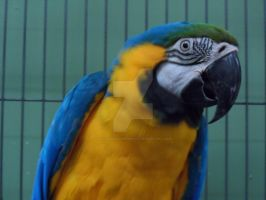 Blue and Gold macaw 2 by GothicRavenMidnight