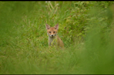 Fox Cub by Just-the-way-Im-not