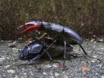 Stag Beetle Pair by Oniroid