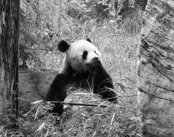 Panda bear in bw by miezbiez