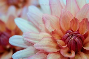 Soft Pedals by TabithaS-Photography