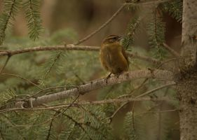 Carolina Wren 2014 - 2 by toshema