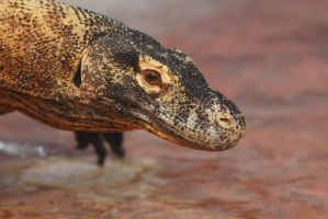 Komodo Dragon by Shadow-and-Flame-86