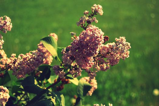 Lilacs by Meganxfaith