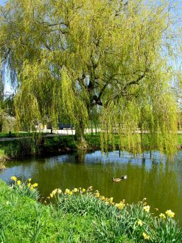 Willow Allow Green by SarahJaneP