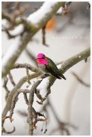 Hummingbird Snow Day by Raymaker