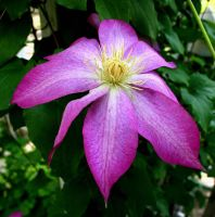 Pretty Clematis by panda69680102