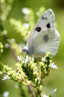 Cabbage Butterfly by Monkeystyle3000