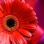 Gerbera by bojar