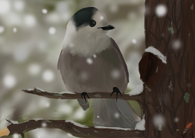 Gray Jay by ringette-and-riding