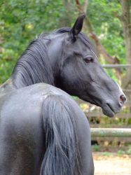 Pasha - black arabian stallion by the-other1