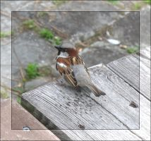 sparrow. by steeerne