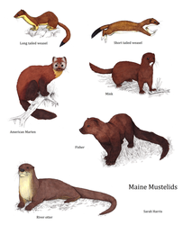 Maine Mustelids by Koeskull